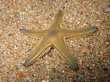 Astropecten platyacanthus httpsuploadwikimediaorgwikipediacommonsthu