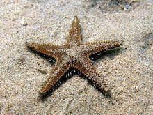 Astropecten spinulosus httpsuploadwikimediaorgwikipediacommonsthu