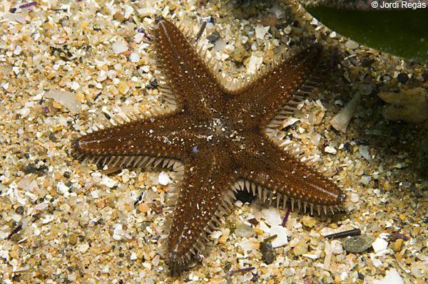 Astropecten spinulosus Club de Inmersin Biologa 18 Estrellas de mar Astropecten