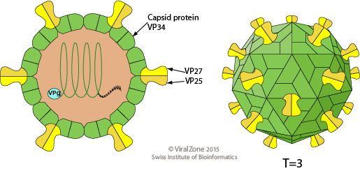 Astrovirus educationexpasyorgimagesAstroviridaevirionpng