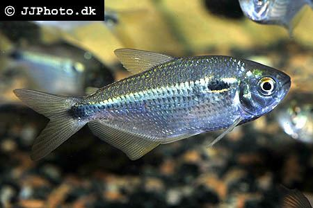 Astyanax (fish) Twospot Astyanax Astyanax bimaculatus with tropical aquarium fish