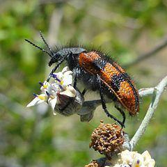 Astylus trifasciatus httpsuploadwikimediaorgwikipediacommonsthu