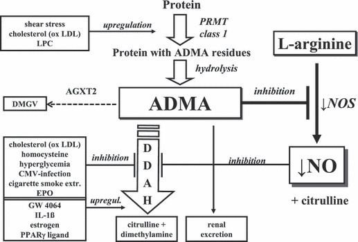 Asymmetric dimethylarginine Origin and fate of asymmetric dimethylarginine ADMA ADMA