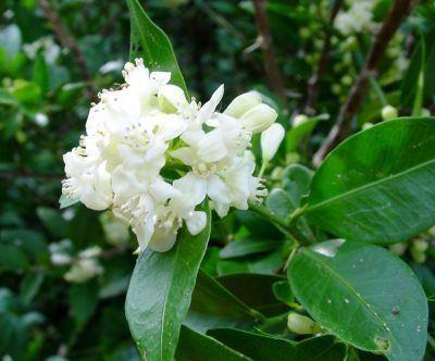 Atalantia monophylla PitchandikulamForestOrg FloraAtalantia monophylla