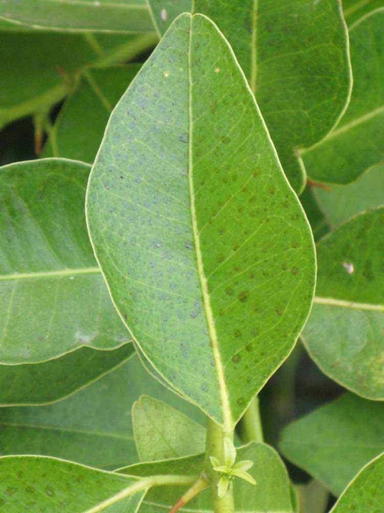 Atalantia monophylla Citrus ID Fact Sheet Atalantia monophylla