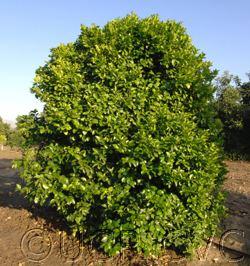 Atalantia monophylla monophylla