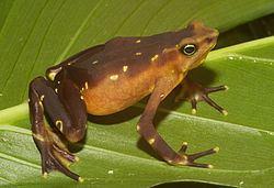 Atelopus glyphus httpsuploadwikimediaorgwikipediacommonsthu