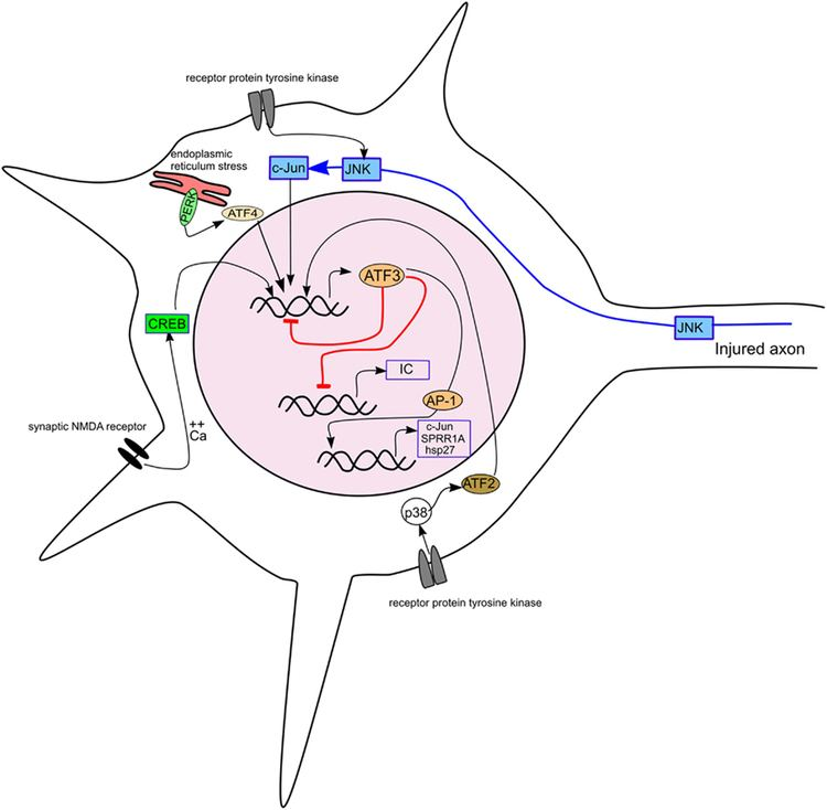 ATF3 Frontiers Activating Transcription Factor 3 and the Nervous System