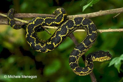 Atheris matildae Species New to Science Herpetology 2011 Atheris matildae A