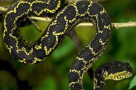 Atheris matildae Matilda39s Horned Viper Atheris matildae new species The Reptile