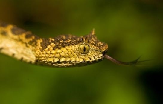 Atheris matildae Natureology Species of the Day Matilda39s Horned Viper Atheris