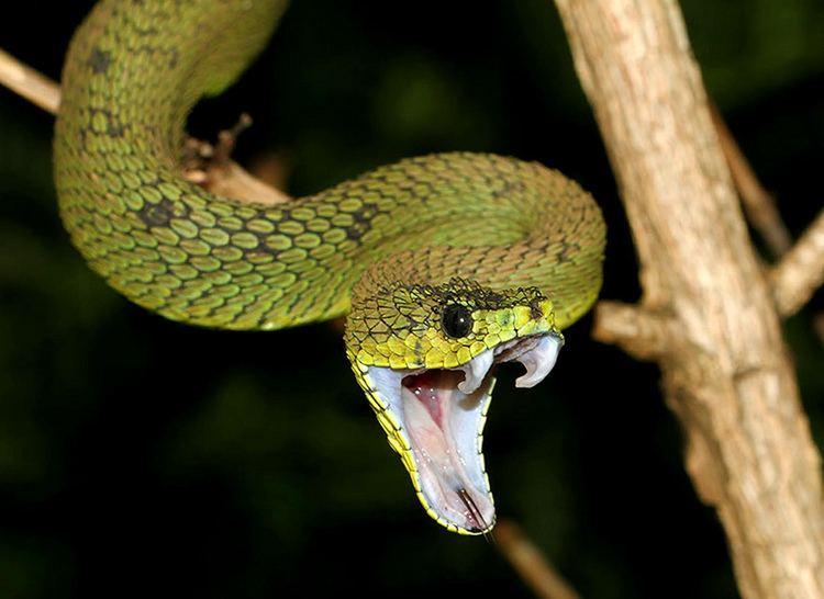 Atheris nitschei Great Lakes Viper Atheris nitschei Found in Rwenzori Nat Flickr