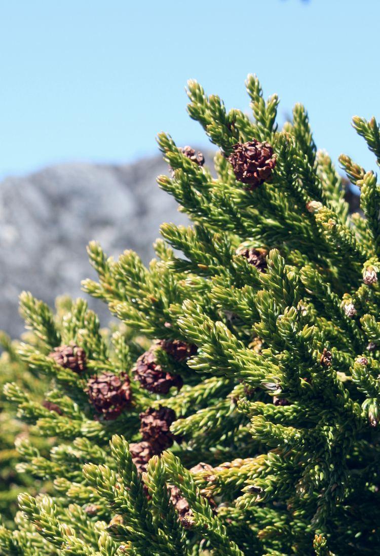 Athrotaxis Sichelfrmige Schuppenfichte Wikipedia