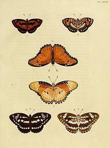 Athyma sulpitia httpsuploadwikimediaorgwikipediacommonsthu