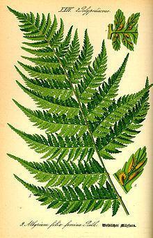 Athyriaceae httpsuploadwikimediaorgwikipediacommonsthu