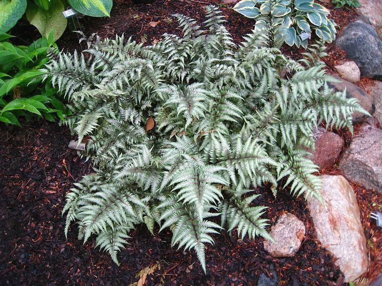 Athyrium niponicum plantsrescuecomwpcontentuploads201308Athyri