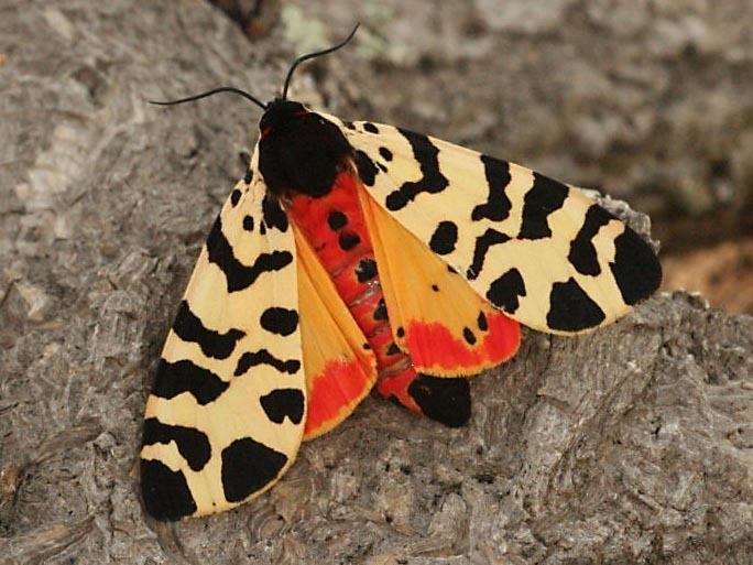 Atlantarctia tigrina wwwlepinetfrespecesphotosgrandesTIGRINAF20