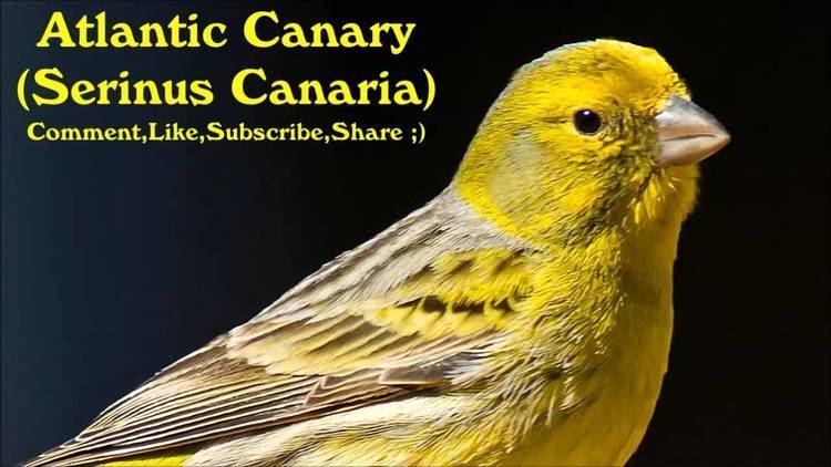 Atlantic canary Atlantic Canary Serinus Canaria Canary Training Video YouTube