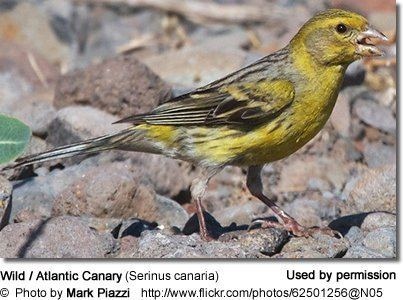 Atlantic canary Canaries Small Songbirds in the Finch Family