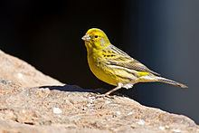 Atlantic canary httpsuploadwikimediaorgwikipediacommonsthu