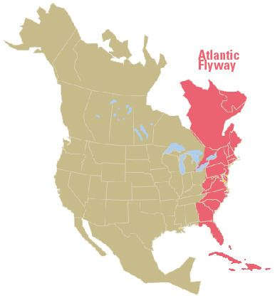 Atlantic Flyway httpswwwfwsgovchesapeakebayimagesatlanticf