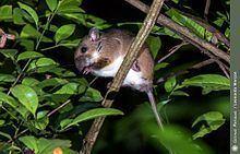 Atlantic Forest climbing mouse httpsuploadwikimediaorgwikipediacommonsthu