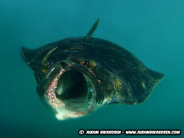 Atlantic halibut i1335photobucketcomalbumsw675SomethingFishy