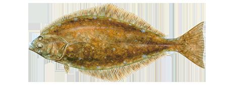 Atlantic halibut Fishing and Boating Resources How to start fishing today Take Me