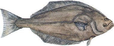 Atlantic halibut The Fishery Then amp Now
