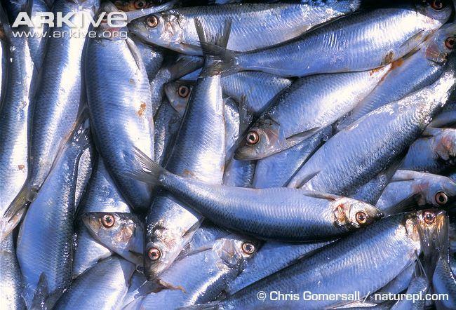 Atlantic herring Atlantic herring photo Clupea harengus A13555 ARKive