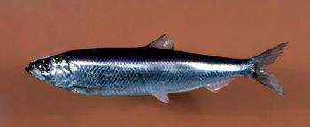 Atlantic herring SS1103 Atlantic Herring Population Trends Linked to Egg Predation
