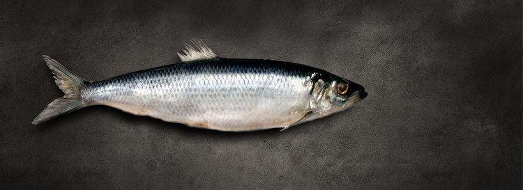 Atlantic herring Norpel Atlantic Herring and Atlantic Mackerel