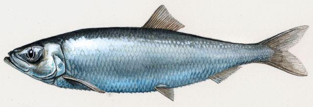 Atlantic herring ADW Clupea harengus INFORMATION