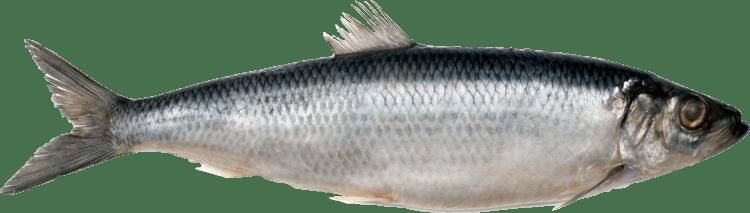Atlantic herring Atlantic herring Shark Seafoods frozen seafood from Estonia