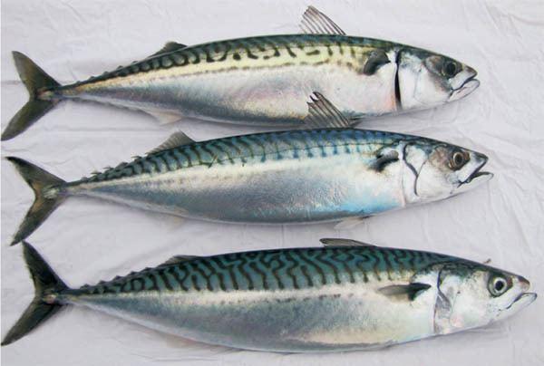Atlantic mackerel Atlantic mackerel