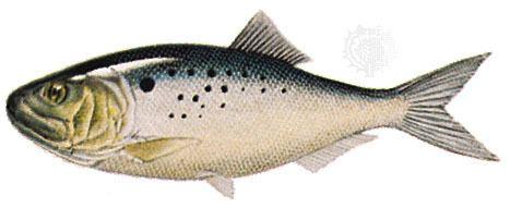 Atlantic menhaden Atlantic menhaden fish Britannicacom