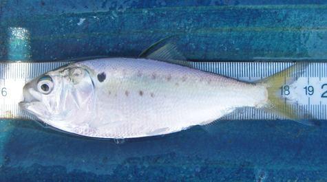 Atlantic menhaden Virginia Institute of Marine Science Menhaden Background