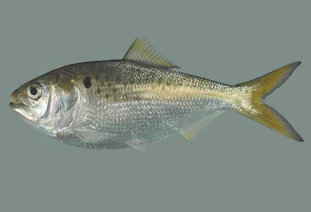 Atlantic menhaden Shorefishes Gallery