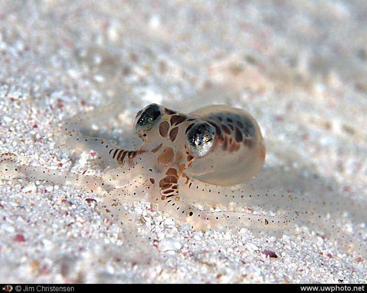 Atlantic pygmy octopus Atlantic Pygmy Octopus Octopus joubini