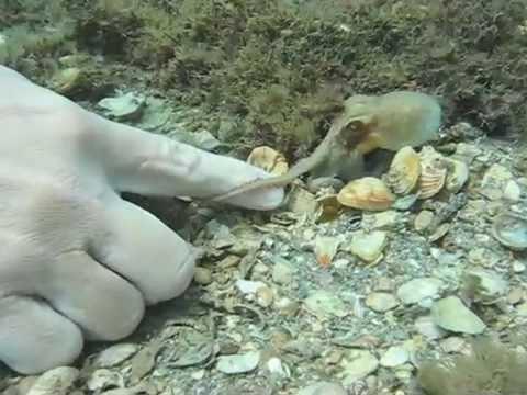 Atlantic pygmy octopus httpsiytimgcomvigxEVYvqQV10hqdefaultjpg