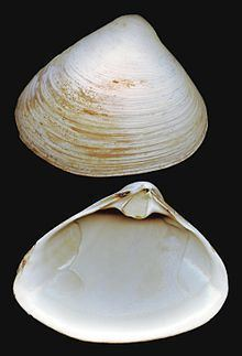 Atlantic surf clam httpsuploadwikimediaorgwikipediacommonsthu