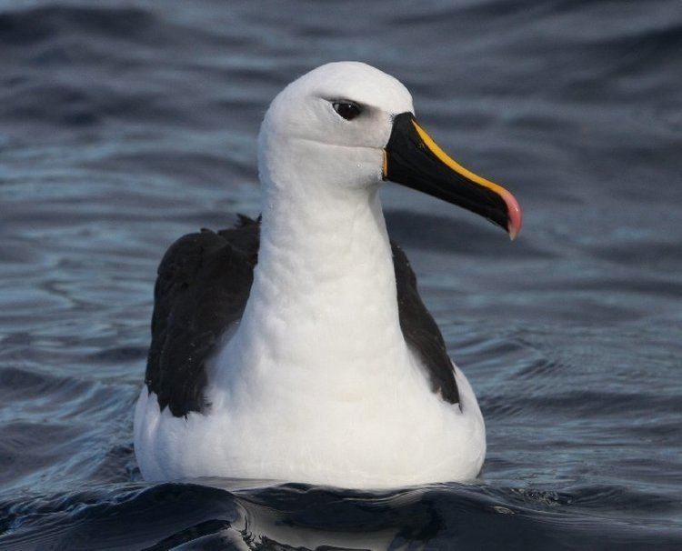 Atlantic yellow-nosed albatross Surfbirds Online Photo Gallery Search Results