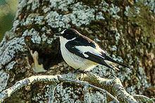 Atlas pied flycatcher httpsuploadwikimediaorgwikipediacommonsthu