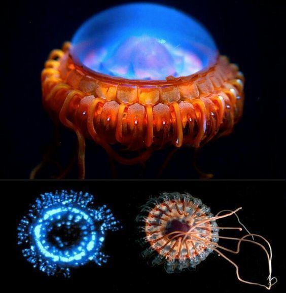 Atolla jellyfish Alarm jellyfish Atolla wyvillei also known as Atolla jellyfish or