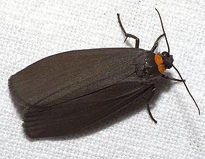 Atolmis rubricollis httpsuploadwikimediaorgwikipediacommonsthu