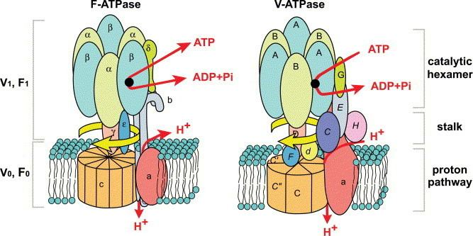 ATPase Diverse and essential roles of mammalian vacuolartype proton pump