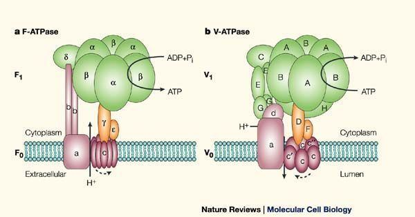 ATPase Figure 1 The significance of molecular slips in transport systems