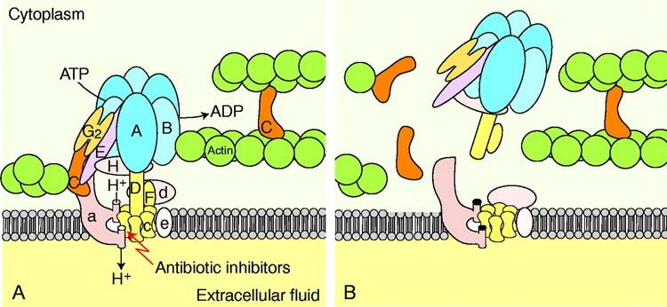 ATPase The Vtype H ATPase molecular structure and function