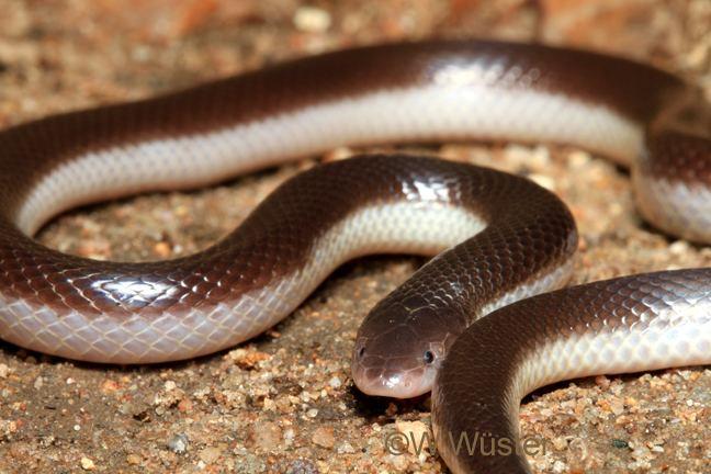 Atractaspis bibronii CalPhotos Atractaspis bibronii Bibron39s Stiletto Snake