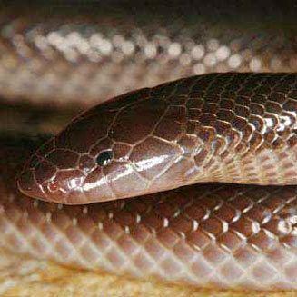 Atractaspis bibronii Atractaspis bibronii Southern stiletto snake Bibron39s burrowing asp